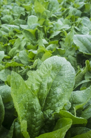 Spinach plantation  Closeup