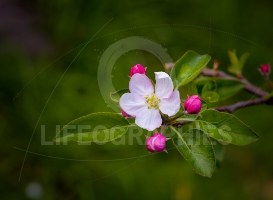 Spring background - spring apple flowers in spring blossom lit by spring soft sunlight