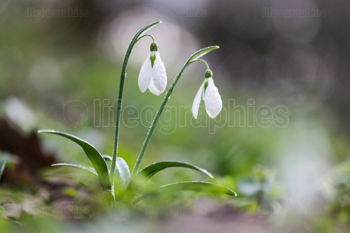 Spring flowers - snowdrops (Galanthus nivalis)