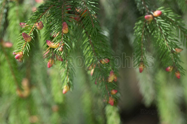 Spruce pine branch with young cones