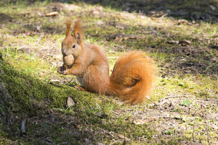 Squirrel with nut  Red rodent animal in autumn park