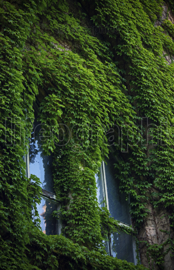 Stone wall and high windows covered in vines and ivy
