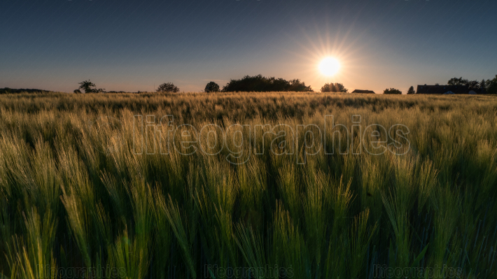 Sundown over a corn field