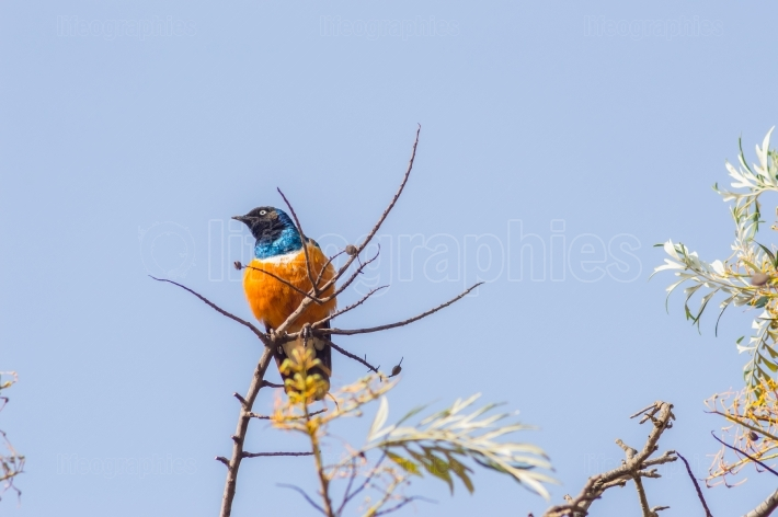 Superb Starling in the savannah grassland of the amboseli