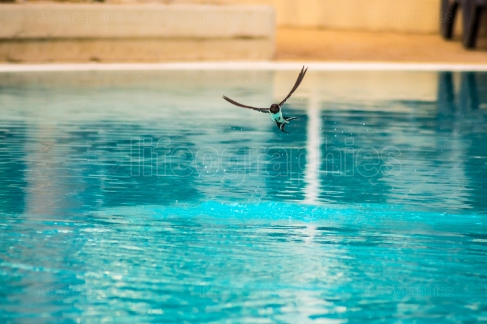Swallow flying over a pool to drink