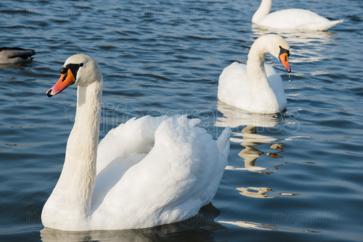 Swan and pond, lake photo  Beautiful picture, background, wallpa