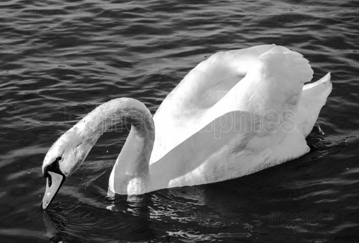 Swan monochrome close up  photo  Beautiful picture, background,