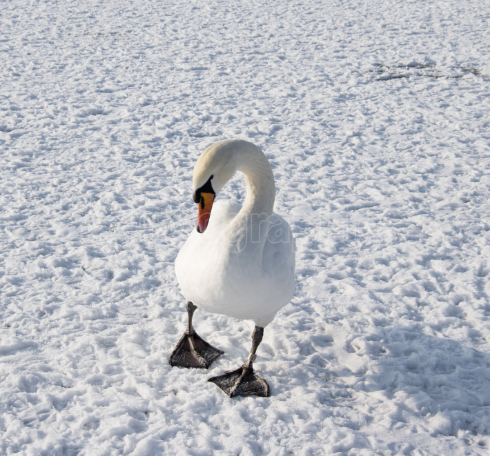 Swan on frozen river in winter photo