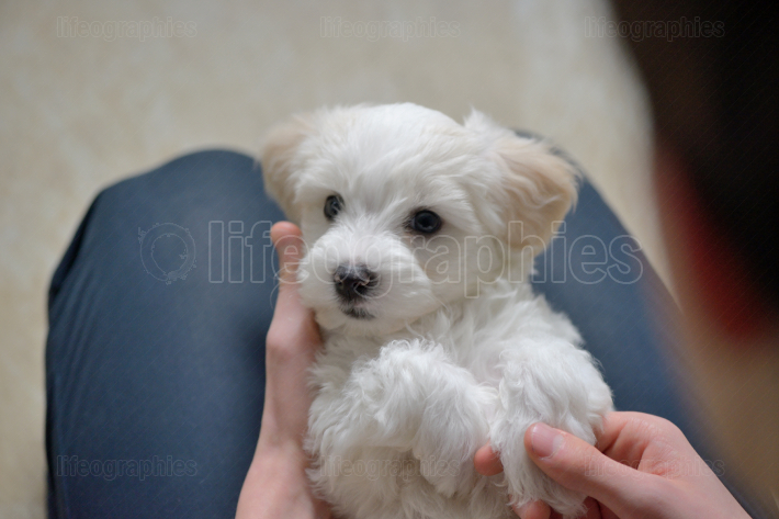 Teen boy play with puppy maltese dog
