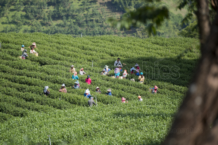 THAILAND CHIANG RAI MAE SALONG TEA PLANTATION