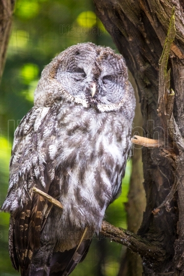 The Great Grey Owl or Lapland Owl, Strix nebulosa