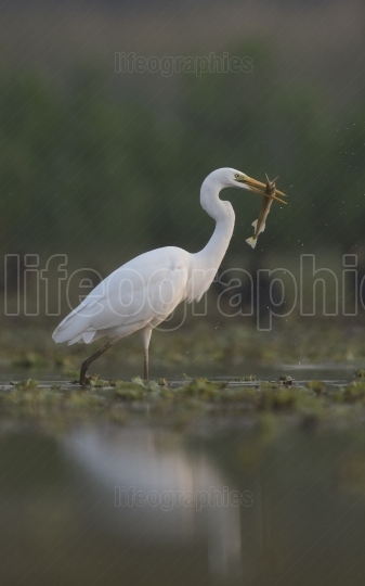 The Great White Egret with Fish