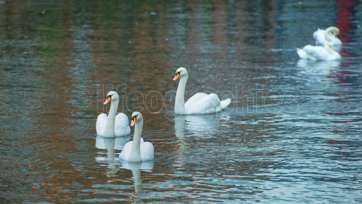 Three white swans on the lake