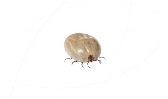 Tick on white