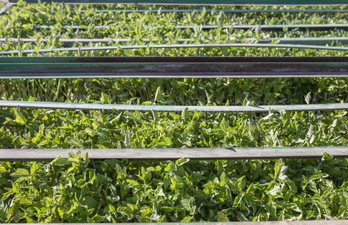 Tomato seedlings trays on trailer racks