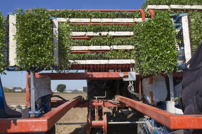 Transplanter machine loaded with tomato seedlings trays on racks