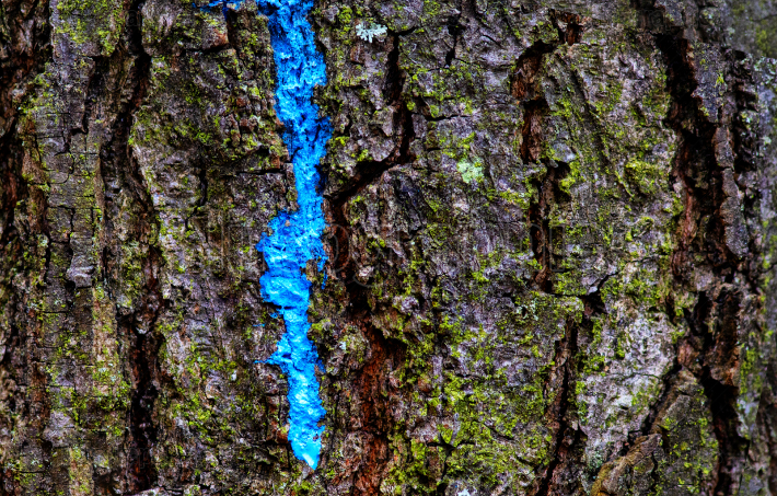 Tree texture with blue paint on it