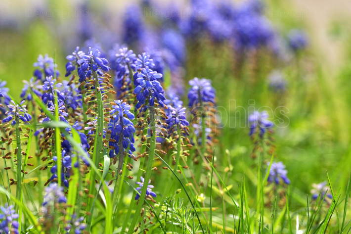 Tufted Grape Hyacinth Purple Flowers
