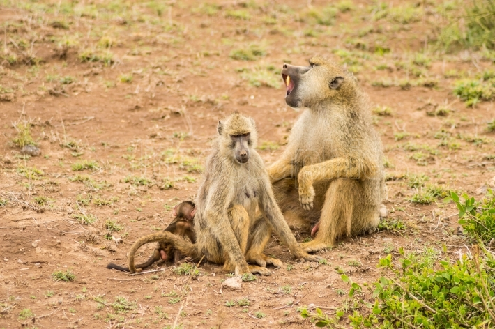 Two baboons with their cubs on their backs in the savannah