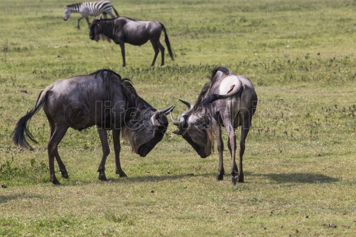 Two battling wildebeests about to smash their heads against each