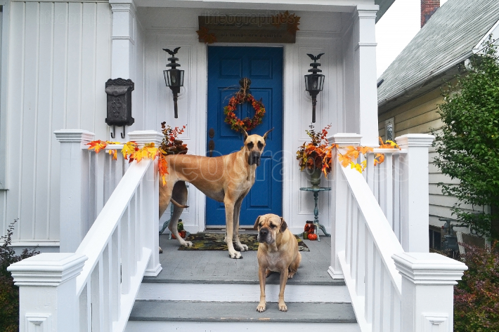 Two big dogs on the front porch