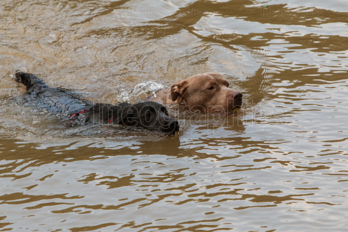 Two Dogs Dog Paddle In River Chasing After Thrown Ball