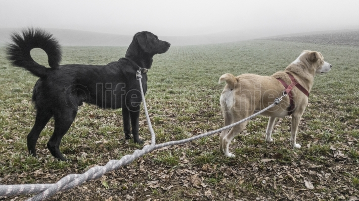 Two dogs looking for some new birds around in an fogy atmosphere