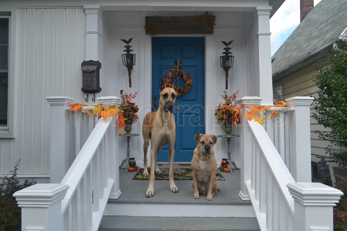 Two dogs waiting on the front porch for there walk