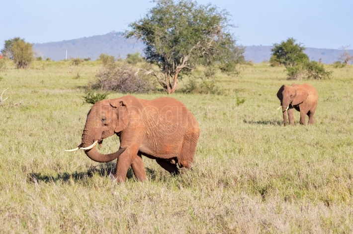 Two elephants walking one behind the other in the savanna of Eas