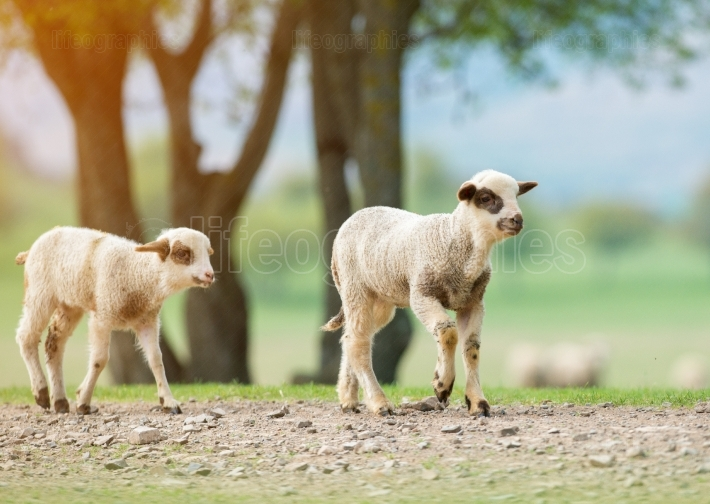 Two little lamb brothers walking alone