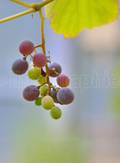 Unripe grapes with leaves