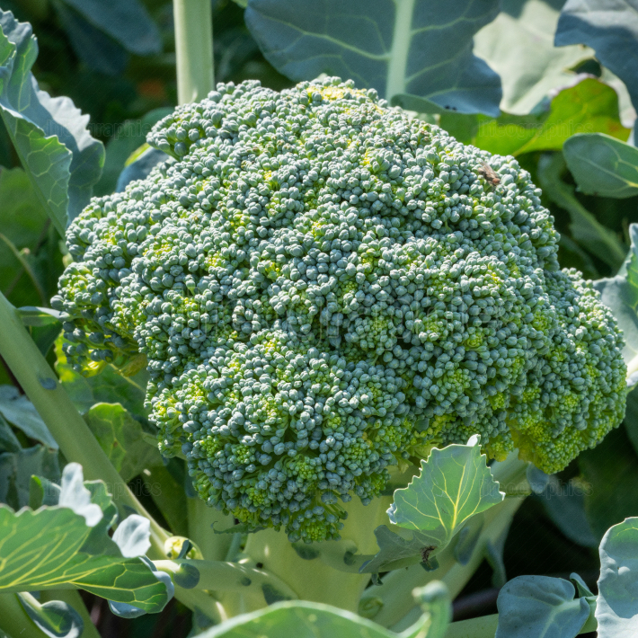 Vegetable, Broccoli