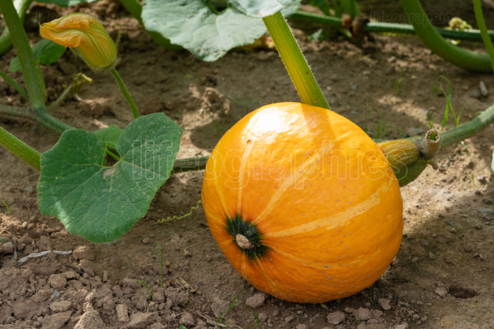 Vegetable, Pumpkin