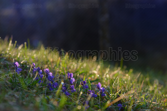 Viola odorata flowers on morning field