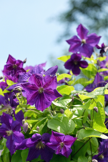 Violet Clematis flowers