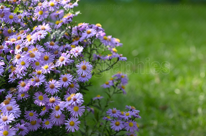 Violet Flowers Aster (Little Carlow)