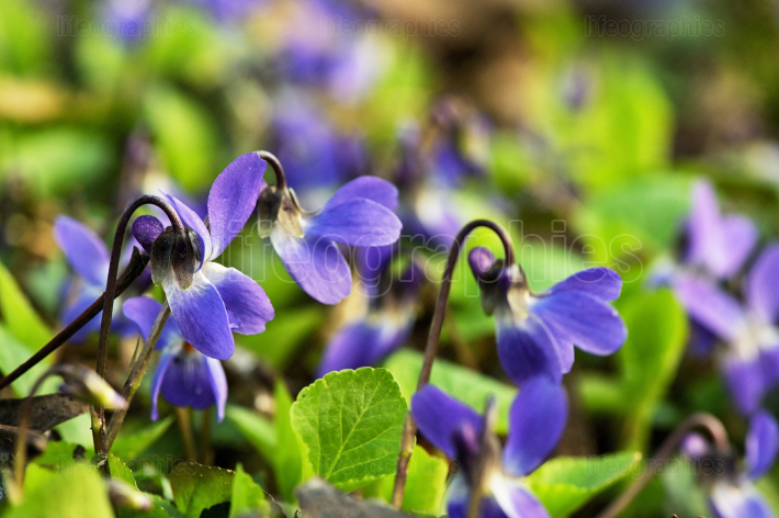 Violets (Viola Odorata) In A Forest