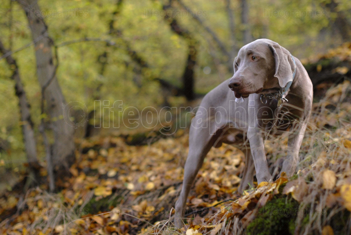Weimaraner on top of the hill
