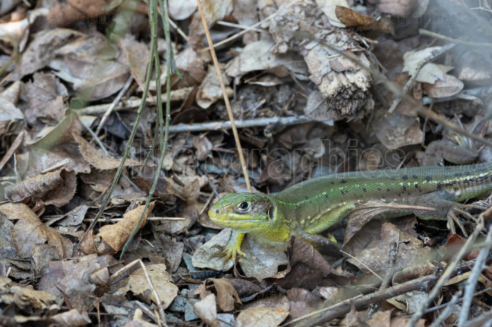 Western Green Lizard, Lacerta bilineata