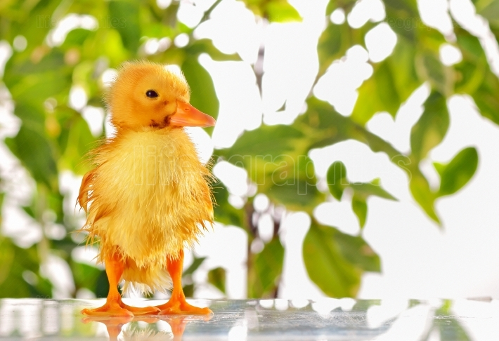 Wet little newly hatched duckling