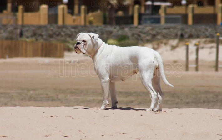 White boxer dog playing at the beach