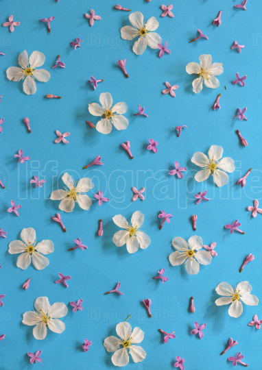 White cherry blossoms on blue background