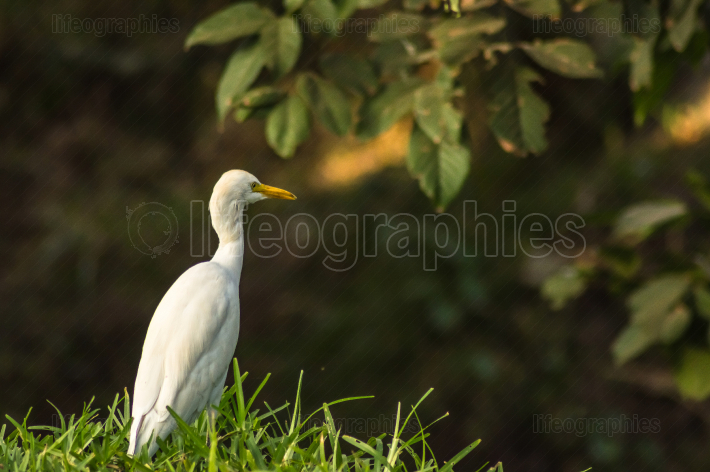 White egret along a forest