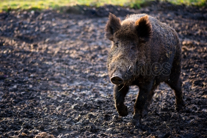 Wild boar male in the forest (sus scrofa)