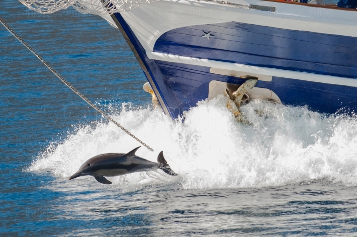 Wild dolphins playing around a ship