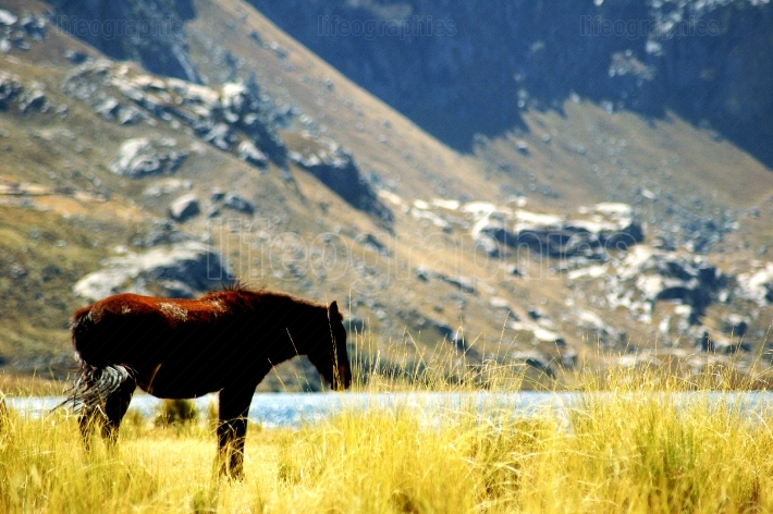Wild horse at lake querococha
