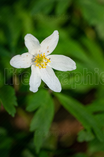 Windflower, Anemone nemorosa