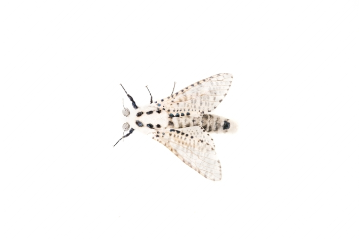 Wood leopard moth Zeuzera pyrina on a white background