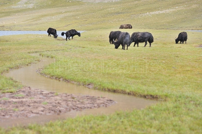 Yaks grazing on the green fields.