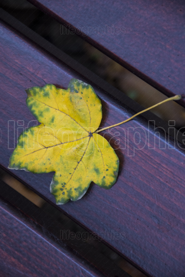 Yellow autumn leaf on bench close up photo
